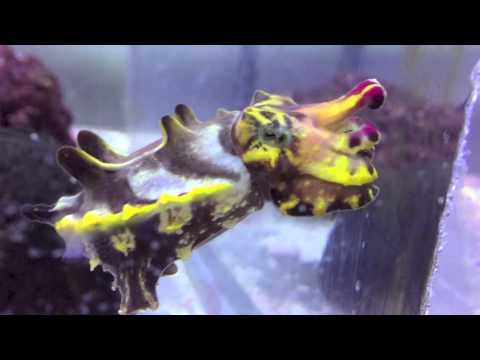Flamboyant Cuttlefish At The Aquarium Of The Pacific