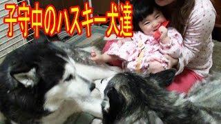 grandchild and #SiberianHusky #dog 孫達とハスキー犬達の想い出成長記...