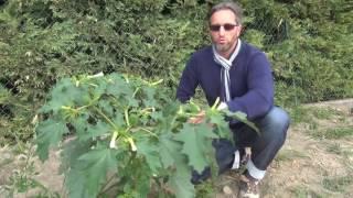 Herbier video1 Datura stramoine