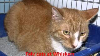 """felv Cats At Whiskers"" Christmas Tune - Whiskers Animal Benevolent League"