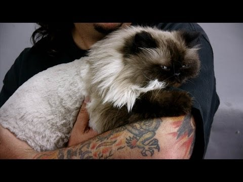 Grooming A Himalayan Cat With Scaredy Cut ®