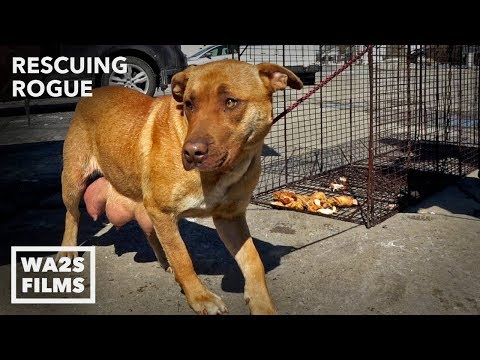 Thumbnail: Stray Dog Acting Weird Reveals Amazing Secret To Hope For Paws Rescuers! Ep 29 Rescuing Rogue