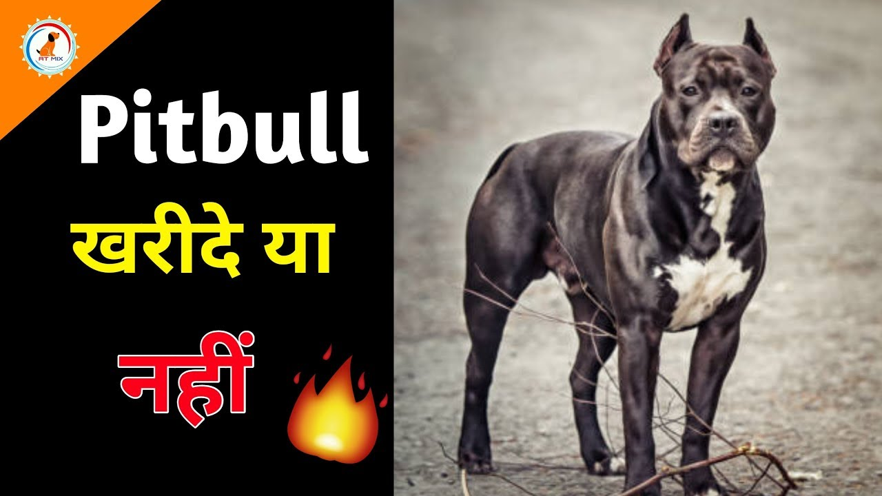 American Pitbull Dog Price Buy Or Not Dogs Price List In India Most Expensive Pitbull Dog Youtube