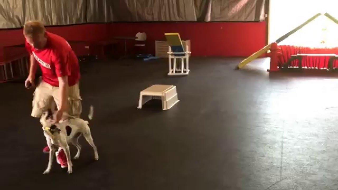 Deaf Dog Training With Remote Collar Shock Collar E Collar Youtube