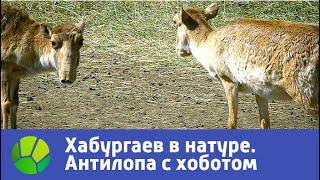 Антилопа с хоботом  Хабургаев в натуре | Живая Планета