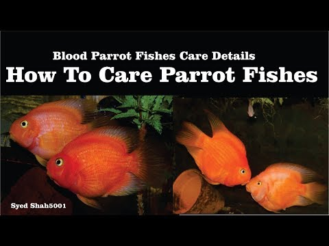 How To Care Parrot Fish In Hindi Urdu With English Sub #Parrotfishcare