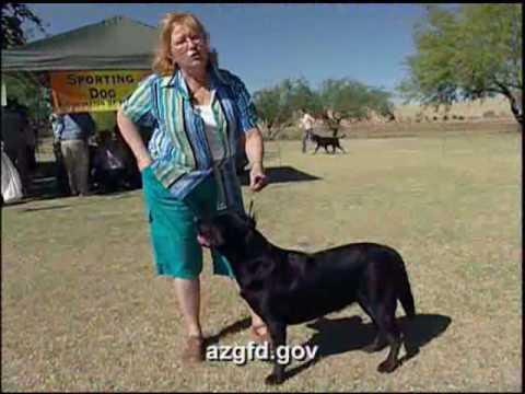 Black Labrador Hunting Dog