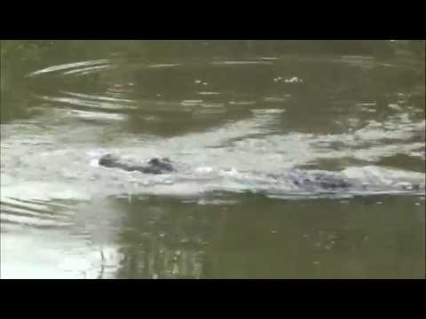 Curious Gator - MUSIC VID - Lake Eufaula, Al - July 2011