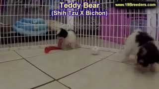 Teddy Bear, Puppies,for,sale, In,orlando Florida, Fl, Deltona,melbourne,palm Coast,