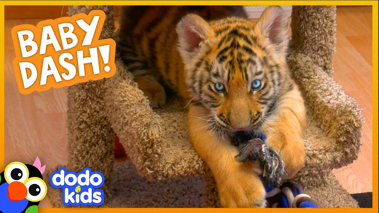Watch This Baby Tiger Go From Cranky And Tiny To Brave And Big | Baby 2 Big | Dodo Kids