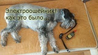 Опыт использования электроошейника. Проблема с котами решена! Миттельшнауцер Тара