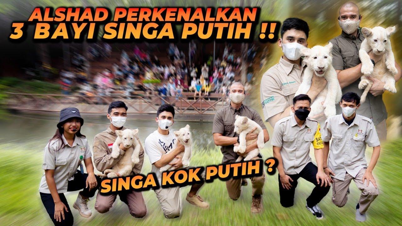 PERKENALAN 3 ANAK SINGA PUTIH LANGKA KE PUBLIK DI FAUNALAND ANCOL !! GEMESIN BANGEET !!