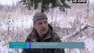 Охота с лайками на лося 2017