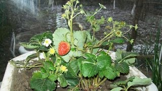 Ремонтантная клубника на подоконнике.  Remontant strawberries on the windowsill.(Ремонтантная клубника на подоконнике. Видео о том как у меня растёт клубника зимой на окне., 2016-12-13T08:20:26.000Z)