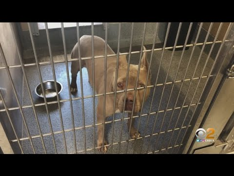 Goldstein Investigates: Local Animal Shelter Isn't Telling All About Some Dangerous Dogs Up For Adop