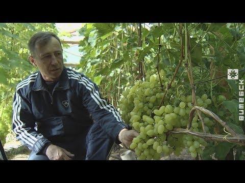 Житель Болбасово превратил приусадебный участок в виноградник (09.10.2018)