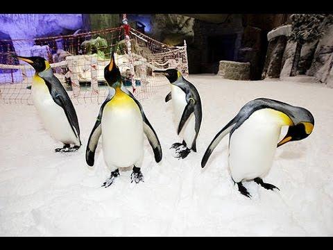 Real Penguins at Dubai Ski Center