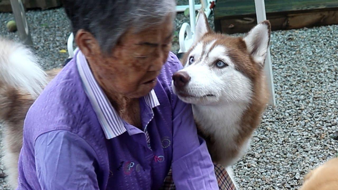 계속 할머니 핥으려고 해서 혼나는 강아지
