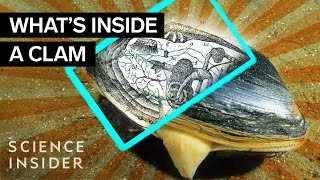 What's Inside A Clam?