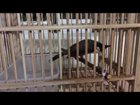 Kép 3, 12 âm-Kênh về chim Chào mào của Triệu Triệu
