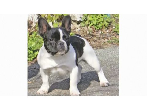 Pros & Cons of a French Bulldog | Dog Breeds