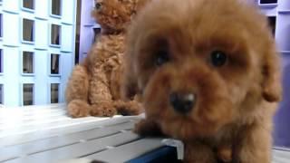 影片-玩具型紅貴賓(公.母)2個半月