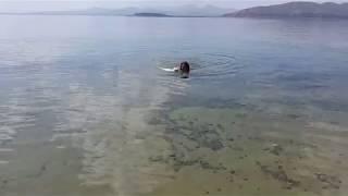 Ванская кошка плавает в  СеВане