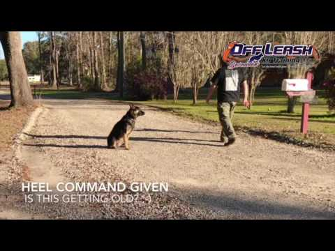Best German Shepherd Dog Obedience, Ranger 9 month GSD Before and After OLK9 dog training.
