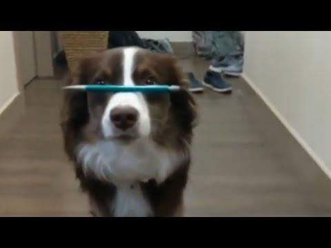 Dog flawlessly balances pen on nose while walking