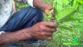 Leaf of life (Bryophyllum pinnatum)