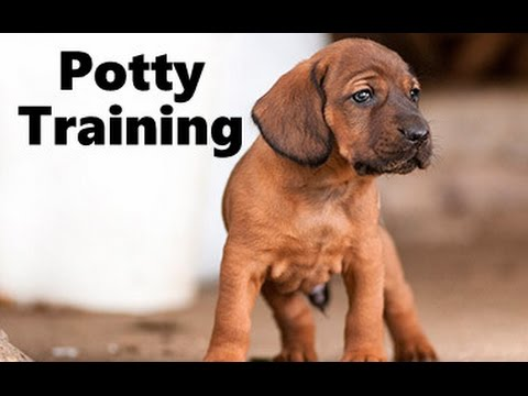 How To Potty Train A Bloodhound Puppy Bloodhound House Training
