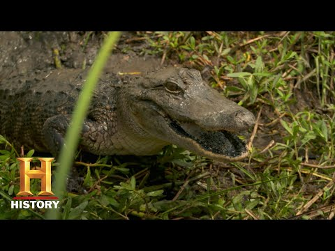 Swamp People: Daniel and Joey Battle a Mama Gator (Season 10) | Bonus | History
