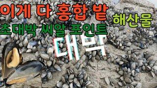 전북고창 역대급 해산물 홍합밭 대물씨알 주워 퍼담는 해…