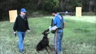 This Video Previously Contained A Copyrighted Audio Track. Due To A Claim By A Copyright Holder, The Audio Track Has Been Muted.     Jacksonville Dog Training - Jim With Fedor The Doberman Having Fun In Ipo Protection