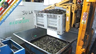 3 - Produzione olio extravergine di oliva - Frangitura con Ernesto e il Bocca (olio di vello bono)