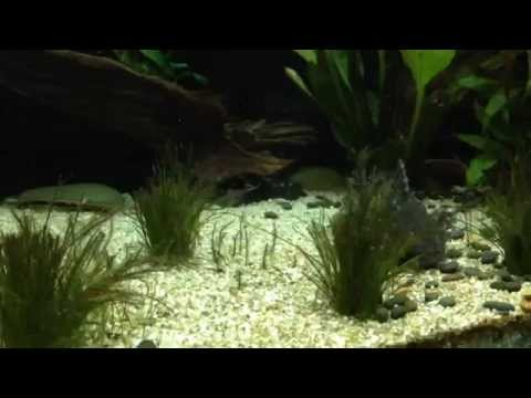 spotted catfish from YouTube · Duration:  1 minutes 22 seconds  · 641 views · uploaded on 6/22/2009 · uploaded by shon k