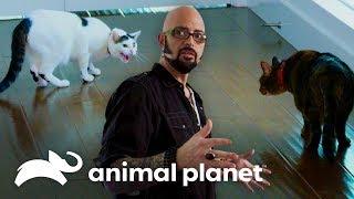 Gatos peleadores están destruyendo la relación de sus dueños | Mi gato endemoniado | Animal Planet