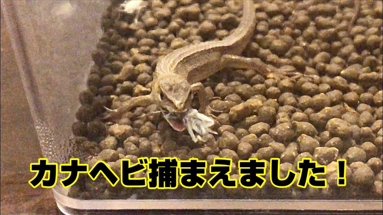 カナヘビ くる病
