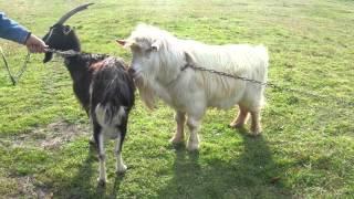Как покрыть козу?