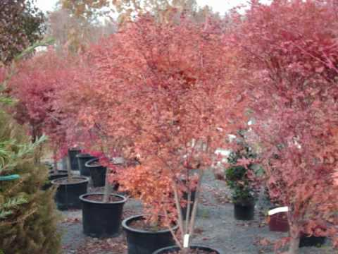 For sale small trees japanese red maples youtube for Maple trees for sale