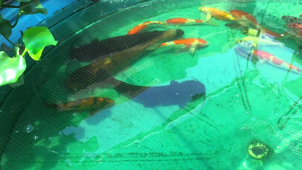 Ordinaire Catfish And Koi Pond