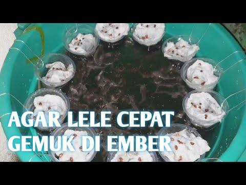 TERNAK LELE DI EMBER SAMPE PANEN #BUDIDAKMBER part 4 ...