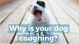 Dog Coughing Sounds: Kennel Cough, Heart Disease, Bronchitis, Tracheal Collapse