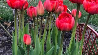 Распустились тюльпаны необыкновенной красоты! ОБЗОР