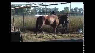 The Life of a Horse Jockey - Lethbridge Horse Racing
