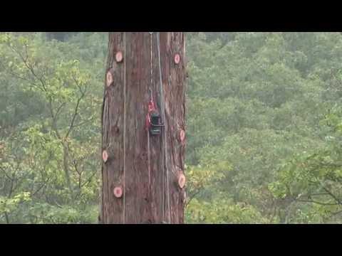 Démontage d'un séquoia géant