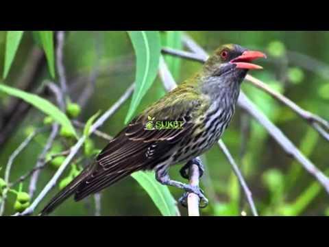Suara Burung Kepodang Tungir Zaitun