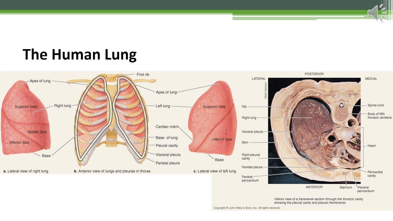 Atemberaubend Anatomie Und Physiologie Färbungsarbeitsbuch Kapitel ...