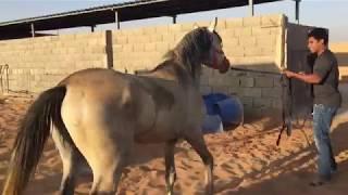 حصان مهجور جابه راعيه عشان اعسفه ,, (الحصان رافض يخرج من غرفته ويهاجم العمال)