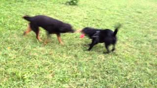Rottweiler Vs Labrador Tug Of War